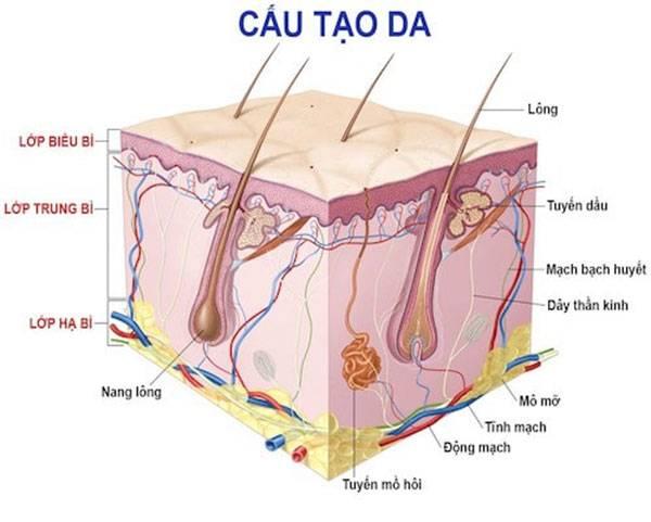 Mô hình cấu trúc của làn da với 3 lớp: biểu bì, trung bì & hạ bì