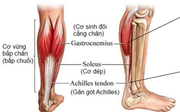 Giảm mỡ bắp chân phải đảm bảo không ảnh hưởng đến hoạt động của các cơ nâng đỡ cơ thể